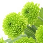 greenchrysanthemum